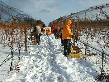 Blackstar Farms Ice Wine Vineyard photo by local photographer David Fox