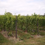 Vineyard