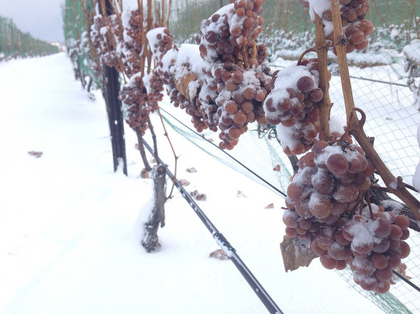 Snow-Covered-Riesling