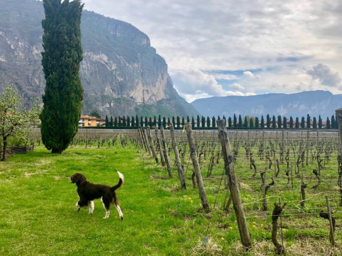 A dog running by the vineyard at Foradori Winery in Italy with the Dolomite Mountains in the distance.