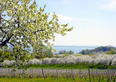 Cherry trees blossoming next to a vineyard on Old Mission Peninsula.