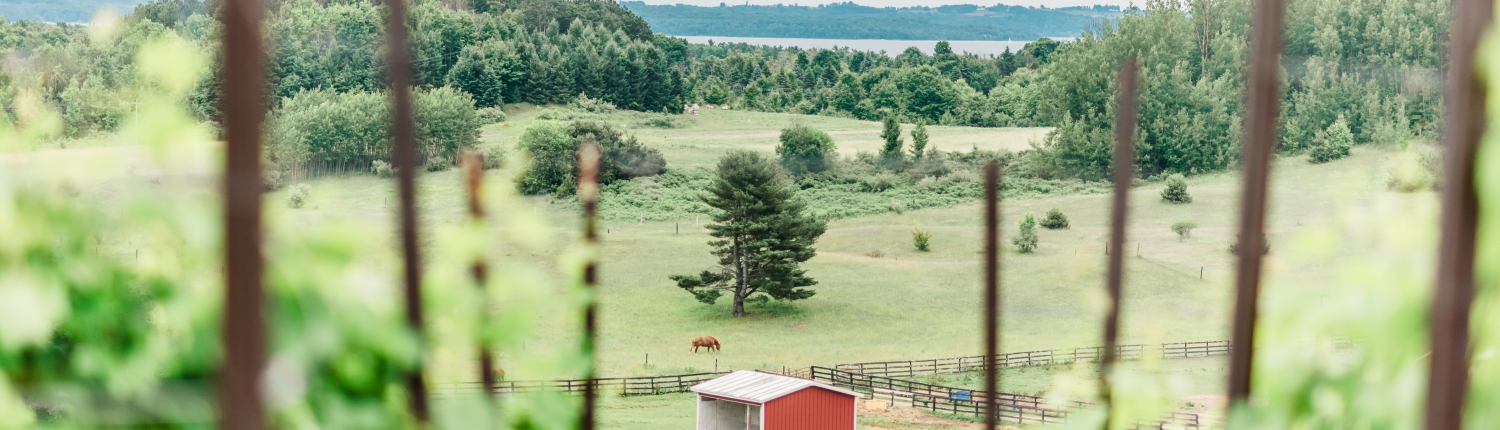 View from our vineyard of a horse in the pasture at Black Star Farms Suttons Bay.
