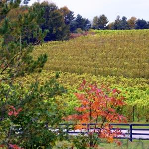 View of Black Star Farms Suttons Bay vineyard with fall colors.