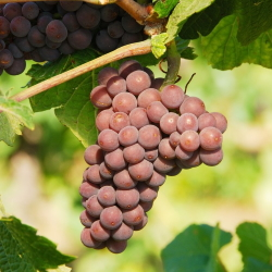 Example of Pinot Gris grapes on the vine.