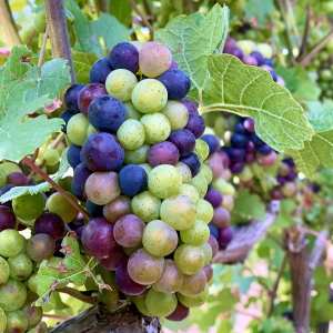 Pinot Noir grapes changing color.