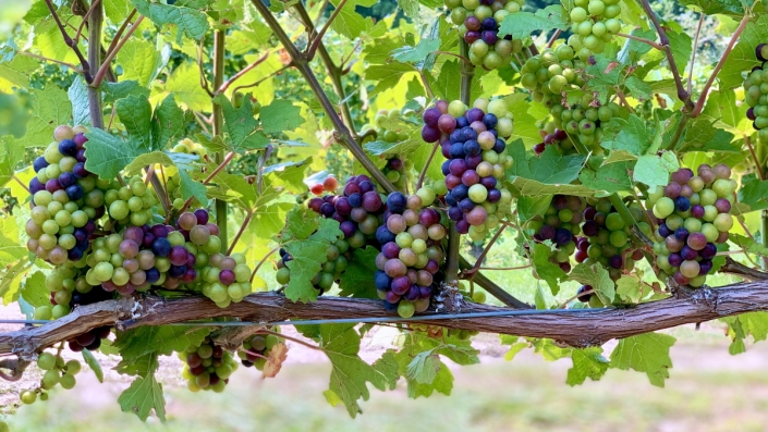 Grapes changing colors in the vineyard.